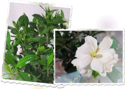 画像1: 梔子(クチナシ)の鉢植えギフト