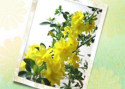 画像1: 黄梅(オウバイ)の鉢植えギフト