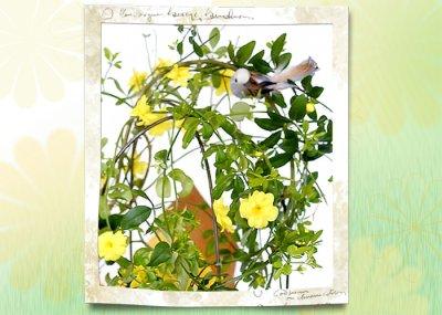 画像2: 黄梅(オウバイ)の鉢植えギフト