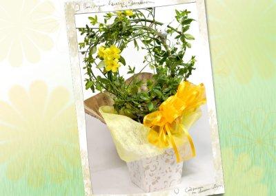 画像3: 黄梅(オウバイ)の鉢植えギフト