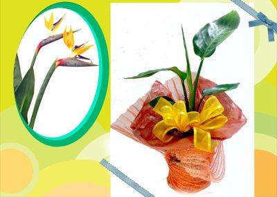 画像3: ストレリチアの鉢植えギフト
