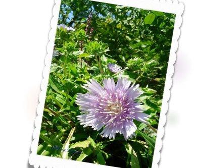 画像2: ストケシアの鉢植えギフト