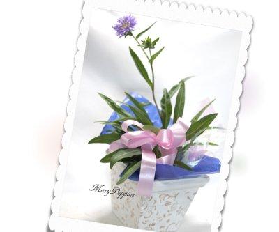 画像3: ストケシアの鉢植えギフト