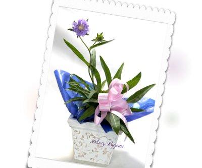 画像1: ストケシアの鉢植えギフト
