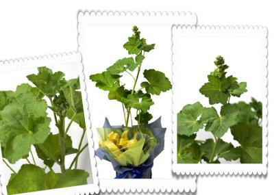 画像2: 立葵(ホリホック)の鉢植えギフト