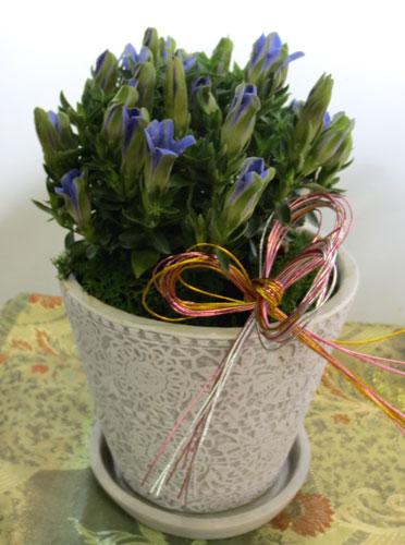 画像1: りんどうの鉢植えギフト (1)