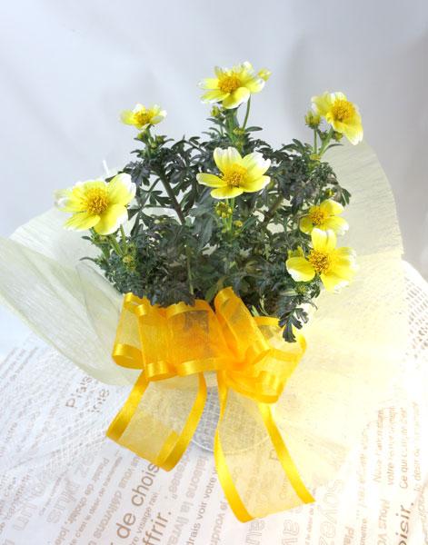 画像1: ウインターコスモスの鉢植えギフト (1)