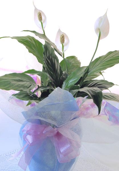 画像1: スパティフィラムの鉢植えギフト (1)