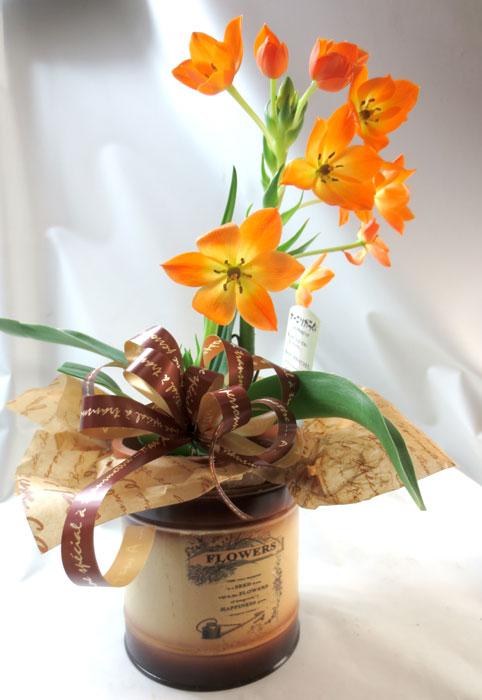 画像1: オーニソガラムの鉢植えギフト (1)