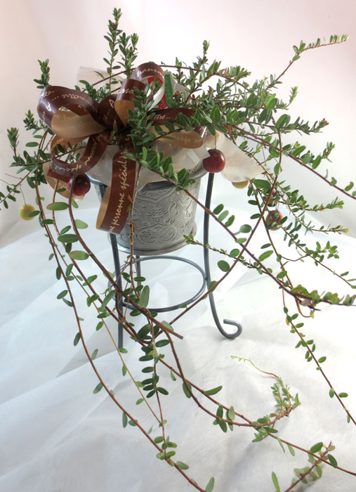 画像1: クランベリーの鉢植えギフト (1)