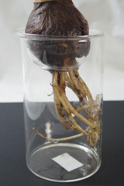 画像1: 球根水栽培用ポットBulbVase (1)