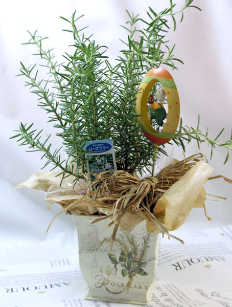 画像1: ローズマリーの鉢植えギフト (1)