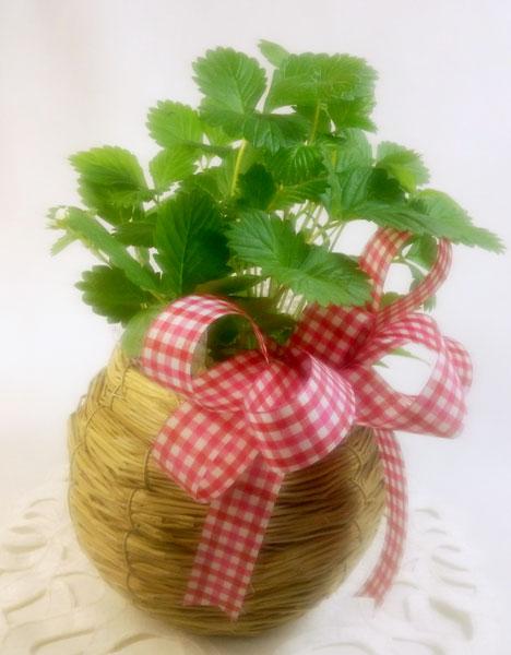 画像1: ワイルドストロベリーの鉢植えギフト (1)