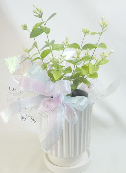 画像1: ジャスミンの鉢植えギフト (1)