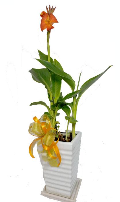画像1: カンナの鉢植えギフト (1)