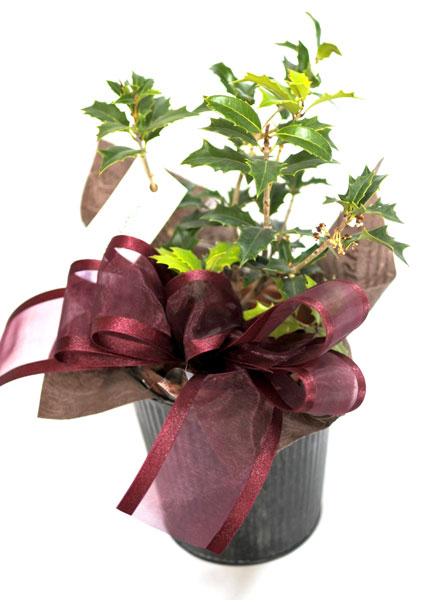 画像1: 柊の鉢植えギフト (1)
