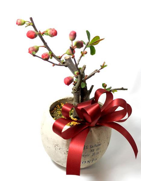 画像1: 木瓜の鉢植えギフト (1)