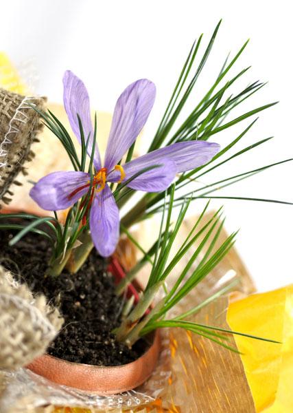 画像1: サフランの鉢植えギフト (1)