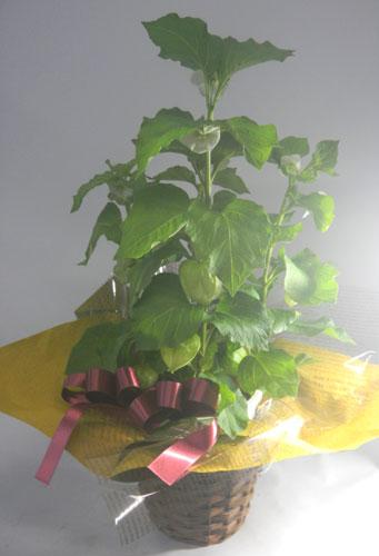 画像1: ほおずきの鉢植えギフト (1)