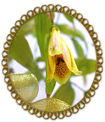 上臈杜鵑草の鉢植えギフト