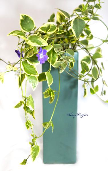画像1: 蔓日々草(ツルニチニチソウ)の鉢植えギフト (1)