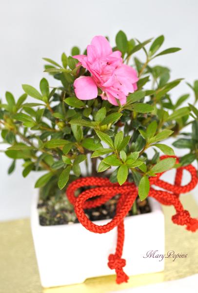 画像1: 盆栽風・皐月(サツキ)の鉢植えギフト (1)